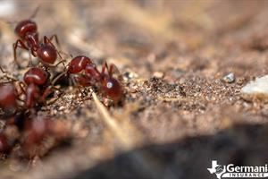 Imported red fire ants in Texas.