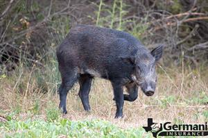 A feral pig in the Texas wilds