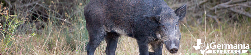 Texas wild pigs are an invasive species and huge problem.